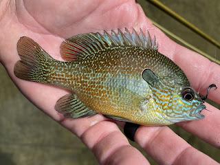 Longear Sunfish, Longear Sunfish on the Fly, Sunfish, Sunfish on the Fly, Sunfish of Texas, San Gabriel River, Georgetown, Texas, Fly Fishing, Fly Fishing Texas, Texas Fly Fishing, Texas Freshwater Fly Fishing, Fly Fishing the San Gabriel River