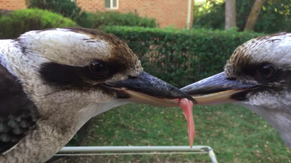 Two Kookaburras were locked in a battle for a sliver of meat, which was dangling from their beaks.  Both the birds, native to Australia, had bit into the meat and neither was willing to let it go.  What was at stake was not hunger – they rejected larger slices of meat offered by Jig Magic, a human who also took a video.