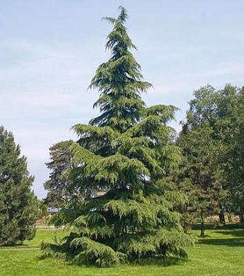 Deodar - National Tree of Pakistan