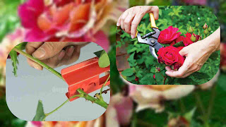 Cara Memanen Bunga Mawar