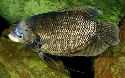 Tips Jitu Membuat Umpan Ikan Gurame