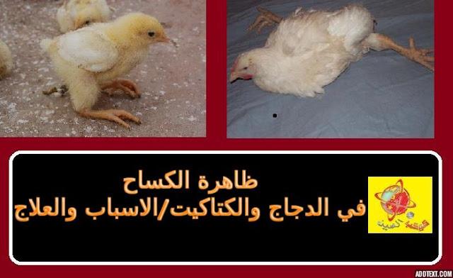 """""""أسباب عرج الدجاج"""" """"علاج أرجل الدجاج"""" """"مرض يصيب أرجل الدجاج"""" """"علاج نقص الكالسيوم عند الدجاج"""" """"الفراخ مش قادرة تقف"""" """"أسباب عدم قدرة الدجاج على الوقوف"""" """"علاج شلل الكتاكيت"""" """"أمراض أرجل الدجاج"""""""