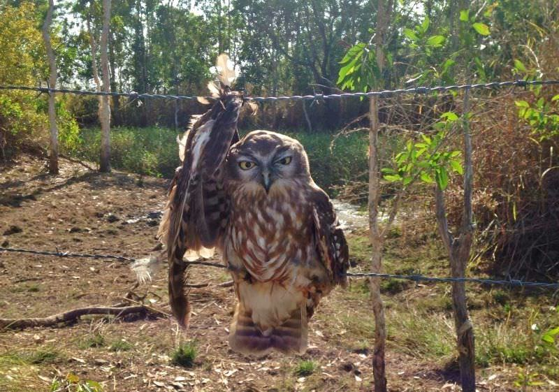 coruja com a asa presa a uma vedação de arame farpado