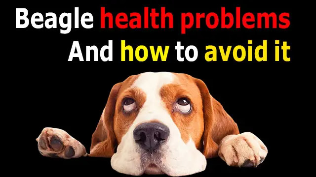 Learn about 9 common health problems for beagles and how to avoid them