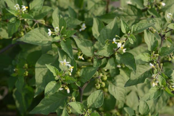 Solanum Nigrum Ayurvedic Medicine | Ayurvedic Treatment Advantages and disadvantages