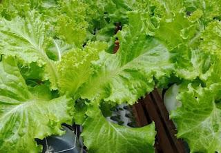 Cara menanam Selada hidroponik