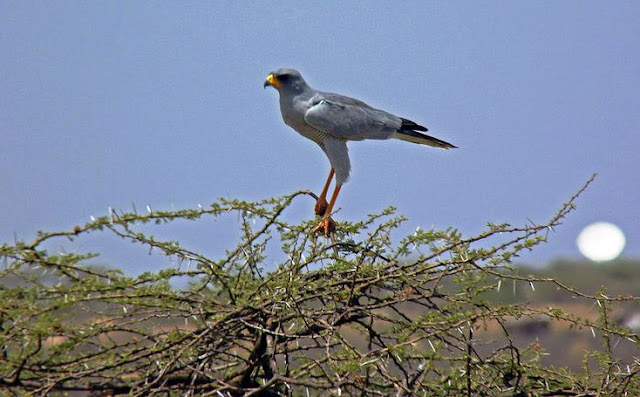 Buy canvas wallart of Eastern Pale Chanting Goshawk