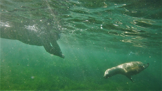 Snorkelling with sea lions around Punta Loma, Argentina