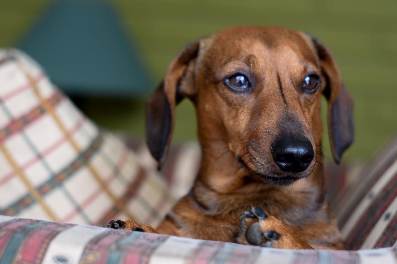 Tout savoir sur le teckel ou le chien saucisse