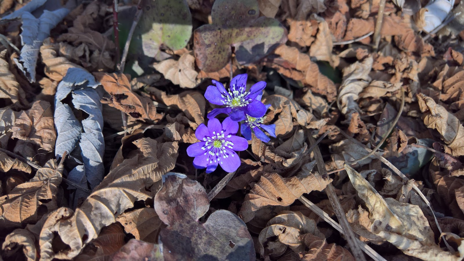 Hepatica nobilis [Ranunculaceae] – notable leaves and notable purple flowers