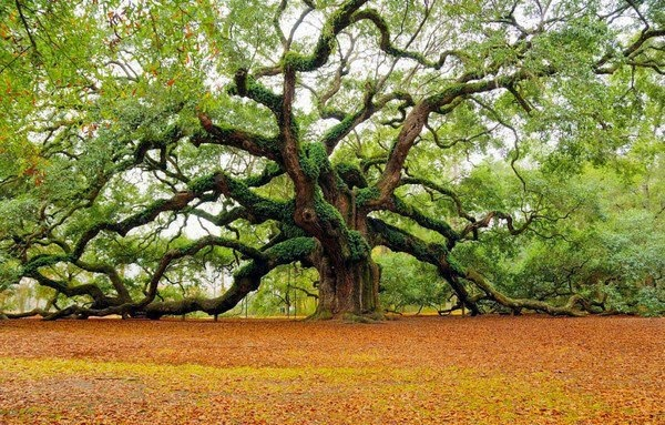 old oak tree, 100 year old tree, oldest tree