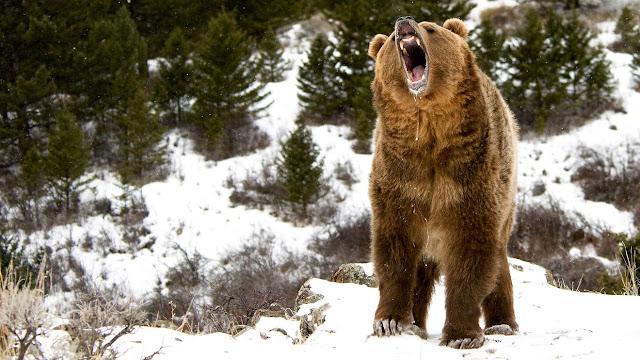 gấu nguy hiểm