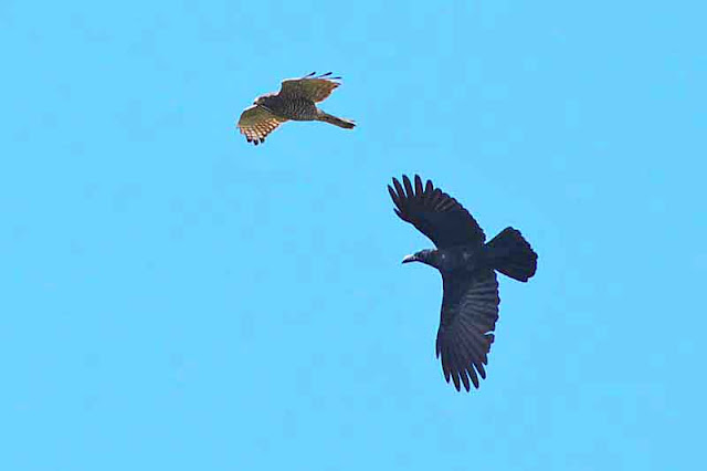 Crow turns away from eagle, in flight