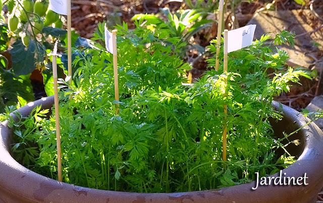 Folhagem da mini cenoura