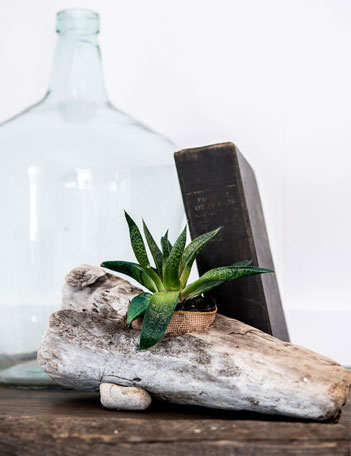 Succulent in driftwood planter