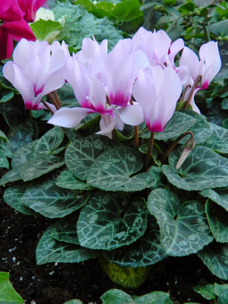 Light pink cyclamen persicum Allan Gardens Conservatory Christmas Flower Show 2014 by garden muses-not another Toronto gardening blog