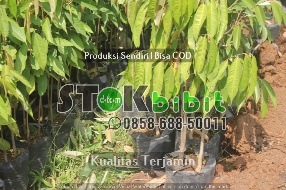 Langkah awal budidaya tanaman Albasia    berkualitas       Unggul