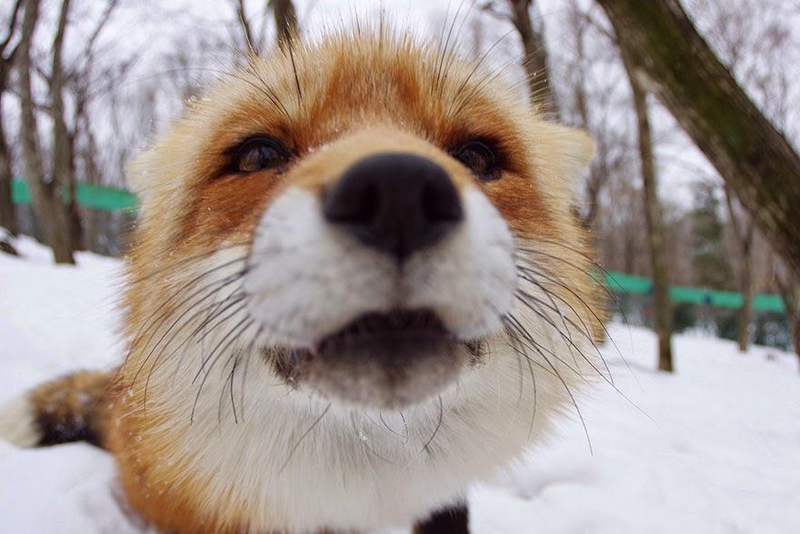 zao fox village japan adorable photos-