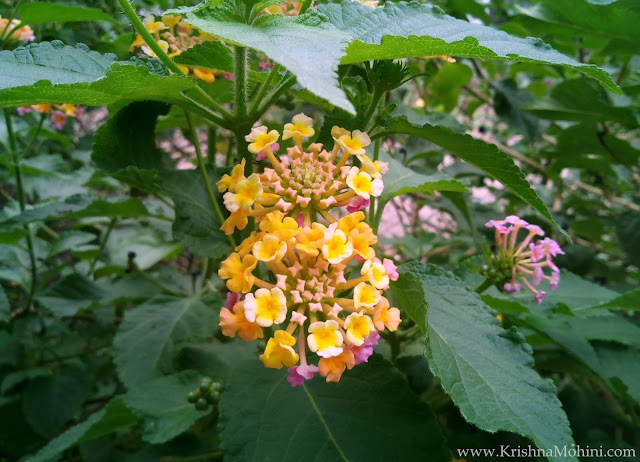 Image: Lantana flower's mixed color cluster
