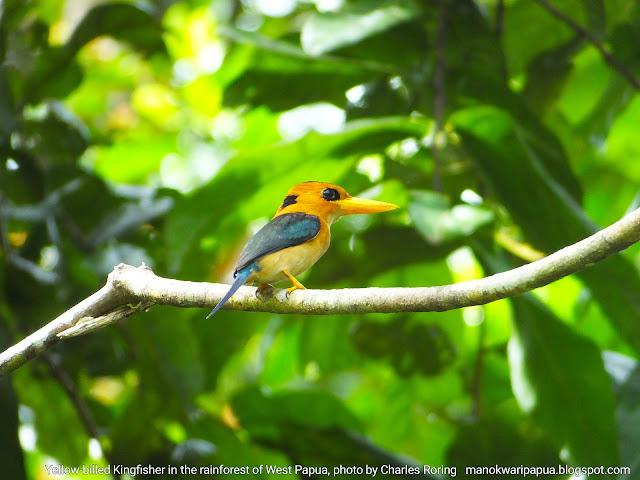 Burung Raja Udang Paruh Kuning (Yellow-billed Kingfisher)