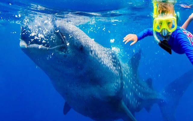 Whale Shark Cabo San Lucas