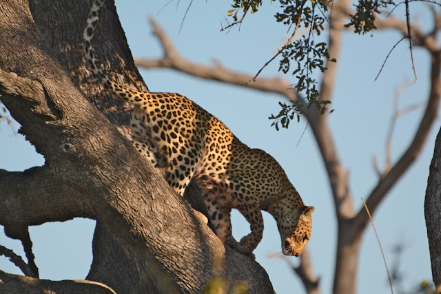 Botswana, luipaard, leopard, bush African bush, wildlife, wildpark, lodge, african tree, African wildlife, zuidelijk Afrika, southern Africa, leopard hunting,
