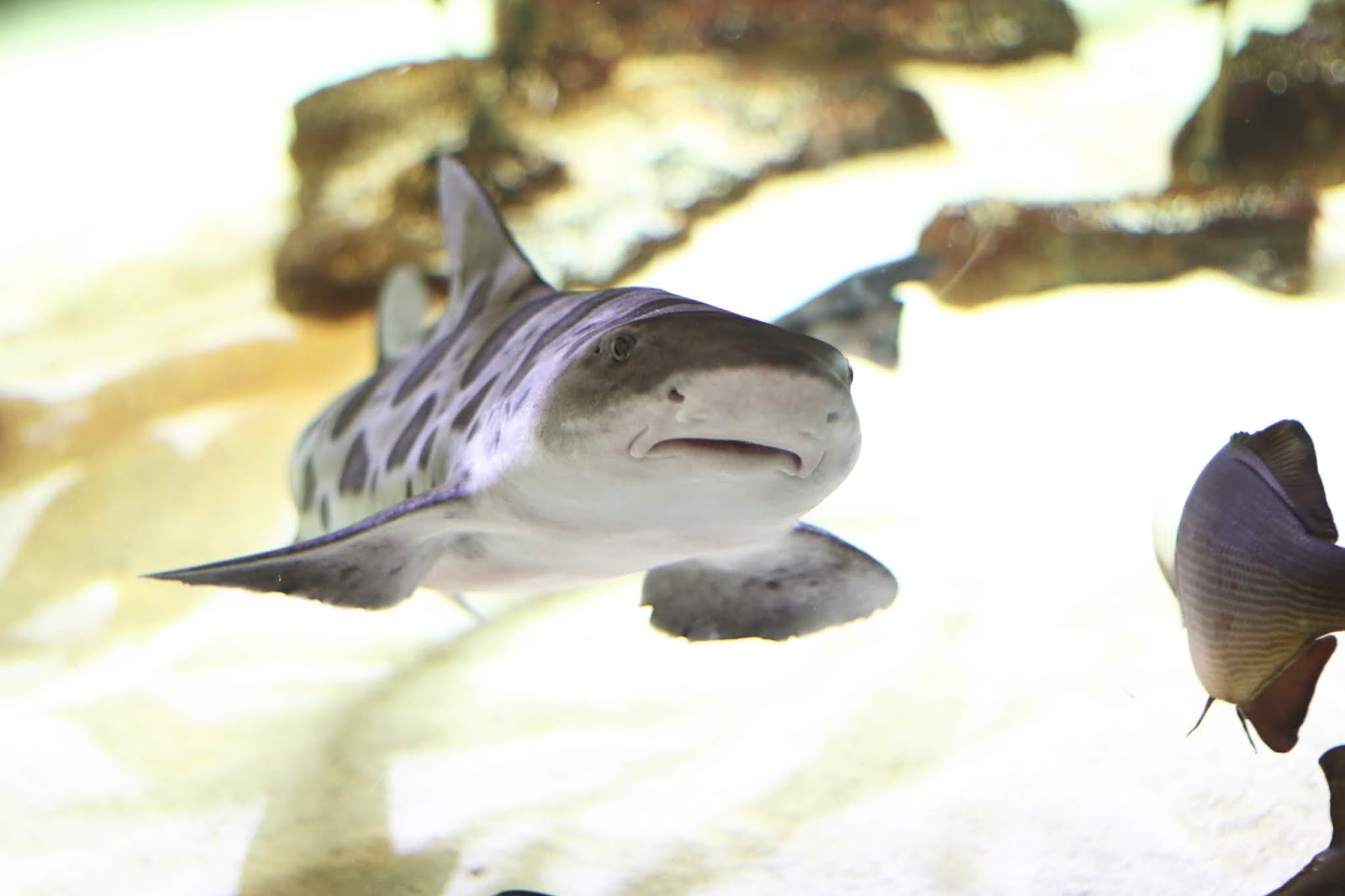 Shark, baby shark, tiny shark, Sharks at Shedd Aquarium Chicago