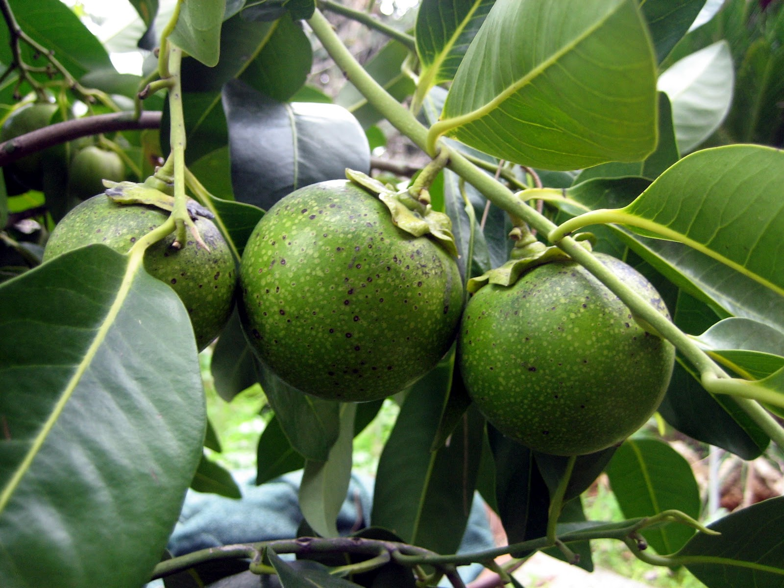 Fruit Warehouse: Black Sapote ( Diospyros digyna )