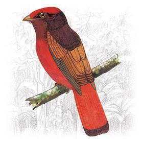 Pássaro Saurá (Phoenicircus carnifex)