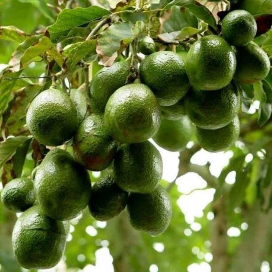 bibit tanaman buah alpukat miki depok Jawa Timur