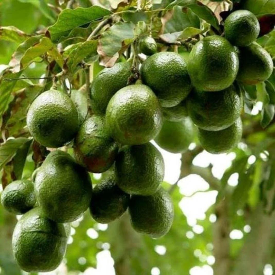 bibit tanaman buah alpukat miki depok Jambi
