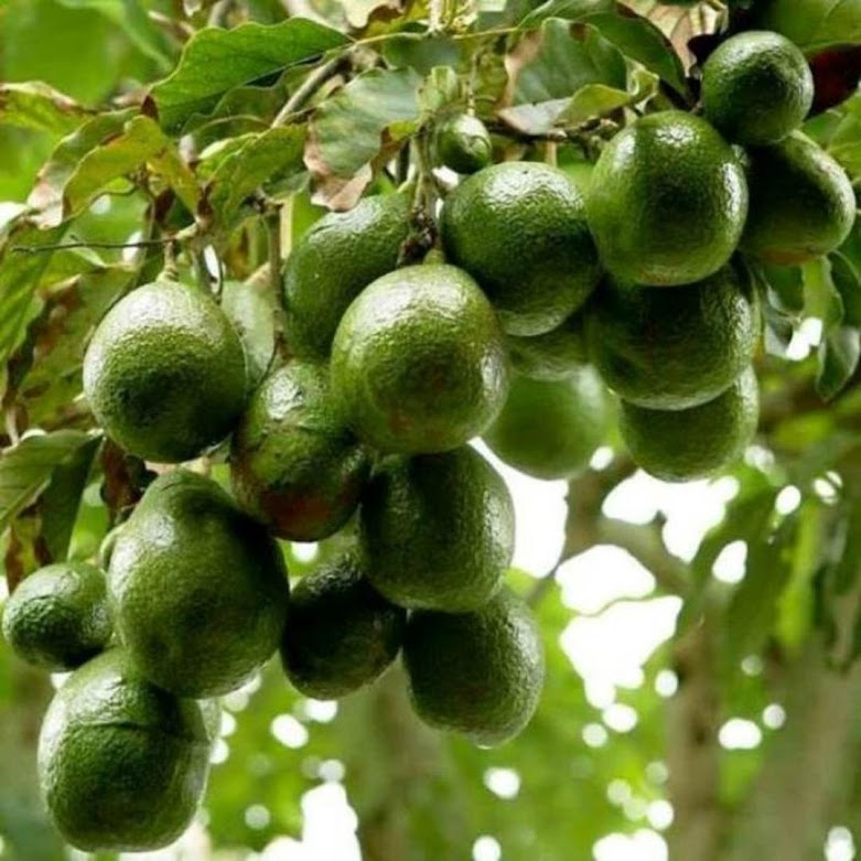 bibit tanaman buah alpukat miki depok Pematangsiantar