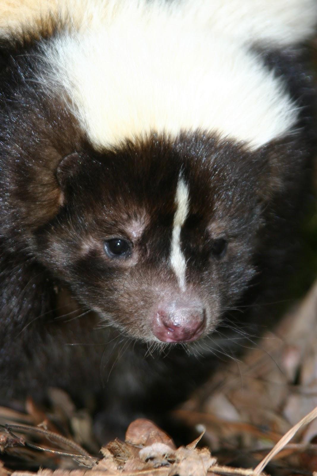 Skunk | Animal Wildlife