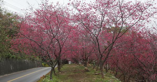 《台中.新社》2018喬木民宿咖啡旁大南櫻花坡櫻花開,還有一整排粉紫色馬櫻丹迎賓