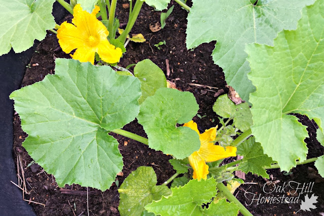Zucchini in flower