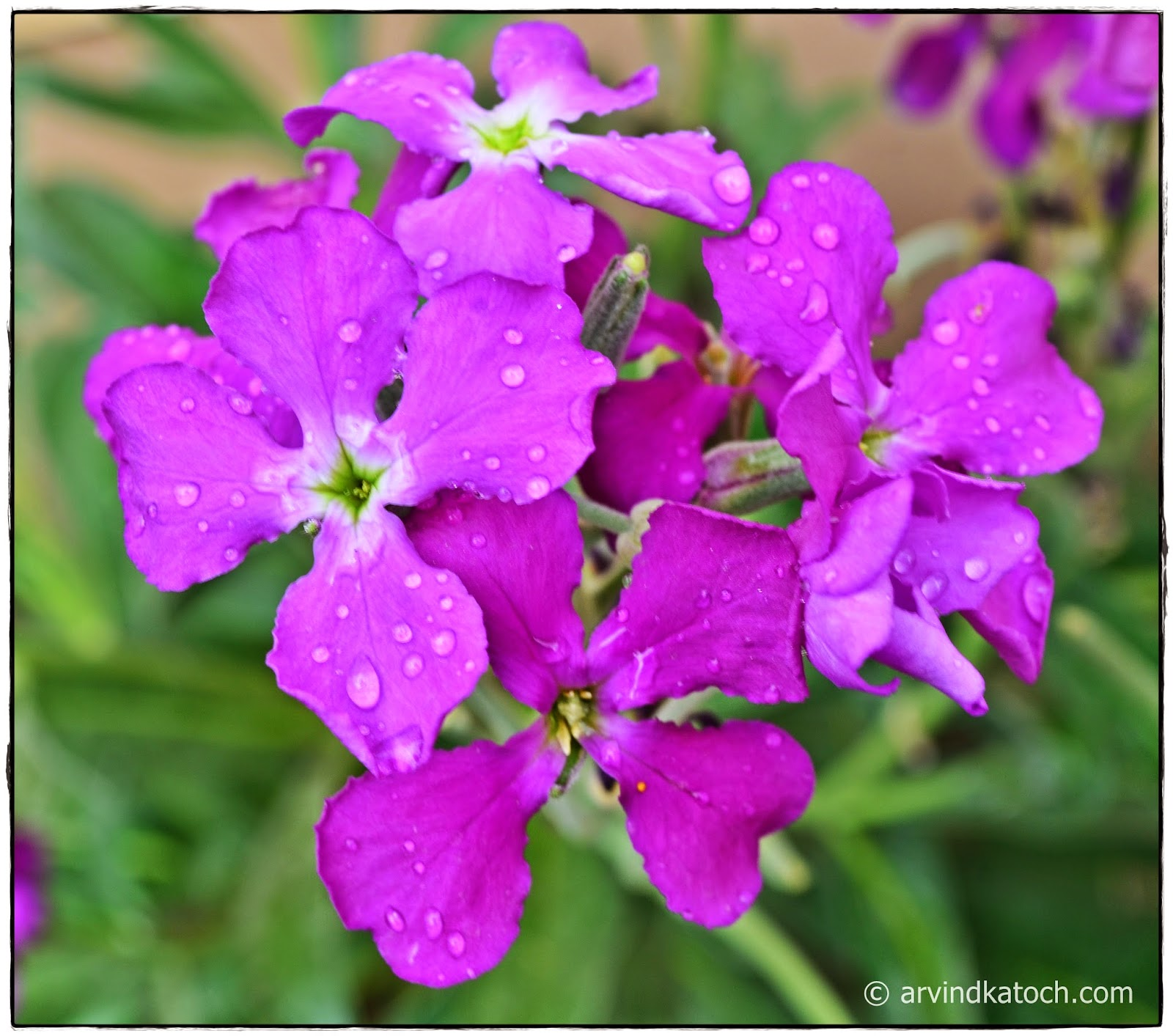 Rain, Flowers, Rain Drops, Blue Flower