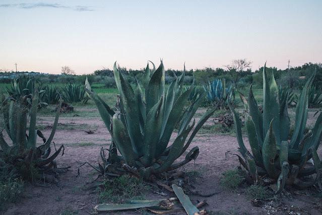 Syrop z agawy – słodzik z serca Meksyku