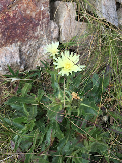 Hieracium intybaceum – Whitish Hawkweed (Sparviere cicoriaceo).