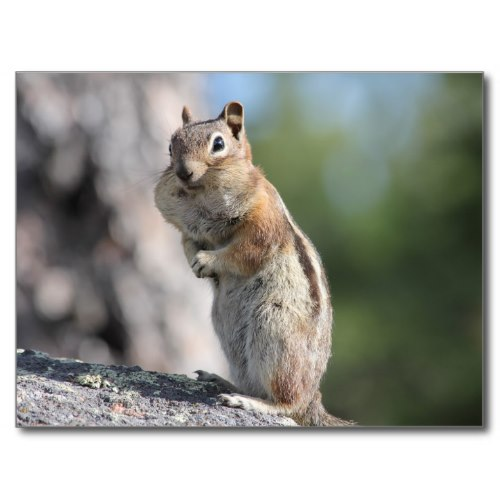 A Colorado Chipmunk with a Mouthful of Peanuts | Funny Post Card