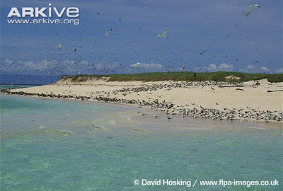 Greater crested Tern habitat