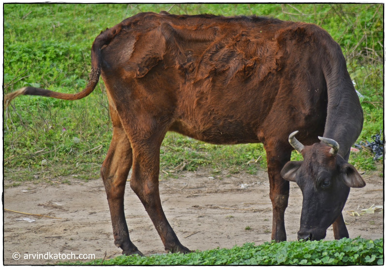 Indian cow, indigenous,