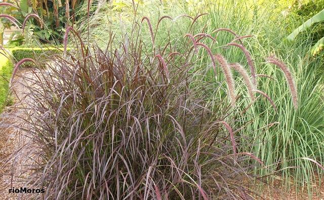 Rabo de gato Pennisetum setaceum