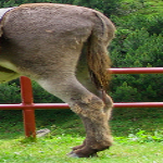 donkey tail