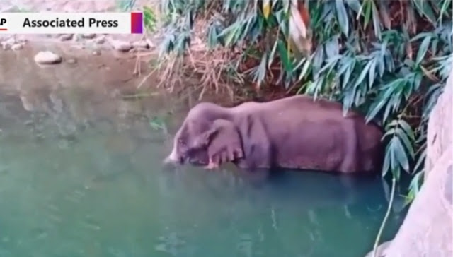 Jahat! Gajah Hamil di India Mati Berdiri Usai Makan Nanas Yang Diisi Petasan