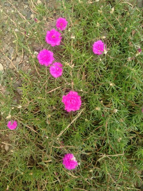 Bunga Krokot-Portulaca grandiflora-Bunga Pukul Sembilan-Cantik Manis-Sutra Bombay-Krokot Mawar Warna Merah Muda