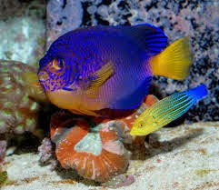 Lábrido Rayado Naranja y Azul