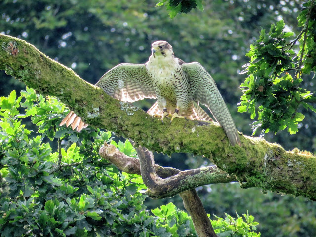 Falcon perched on a tree branch at Mount Falcon Estate in County Mayo Ireland