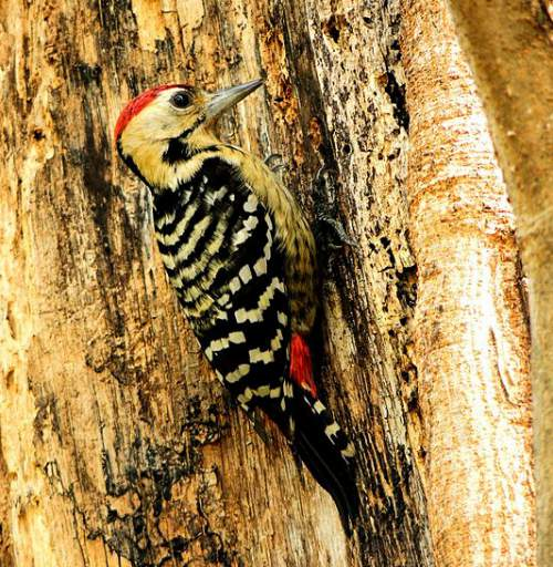 Indian birds - Image of Fulvous-breasted woodpecker - Dendrocopos macei