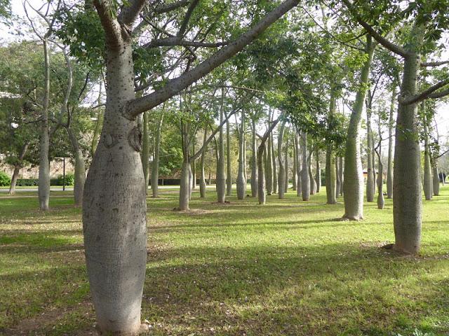 alberi di cieba nei giardini di turia