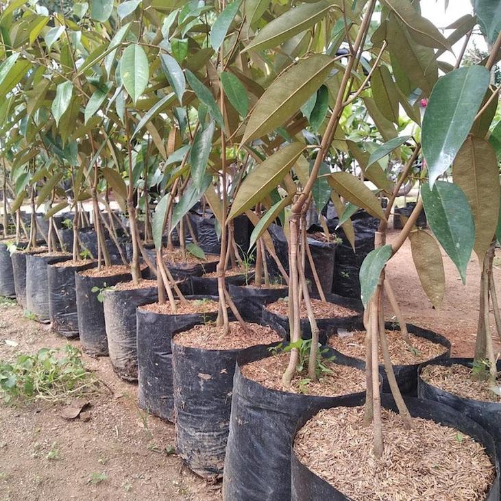 COD Bibit durian bawor kaki 3 hasil okulasi Banjarmasin